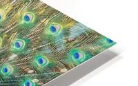 Peacock Feathers Full Frame HD Metal print
