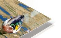 Ducks on Saguaro Lake  Impression metal HD