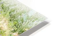 Lavender plants 1 HD Metal print
