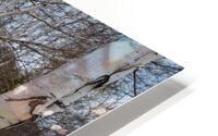 White Birch ap 2242 HD Metal print