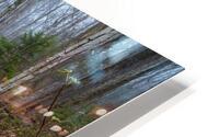 White Birch ap 2186 HD Metal print