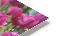 Fantasically Fuschia Tulips HD Metal print