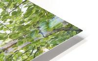 Birch trees in fog;Thunder bay ontario canada HD Metal print