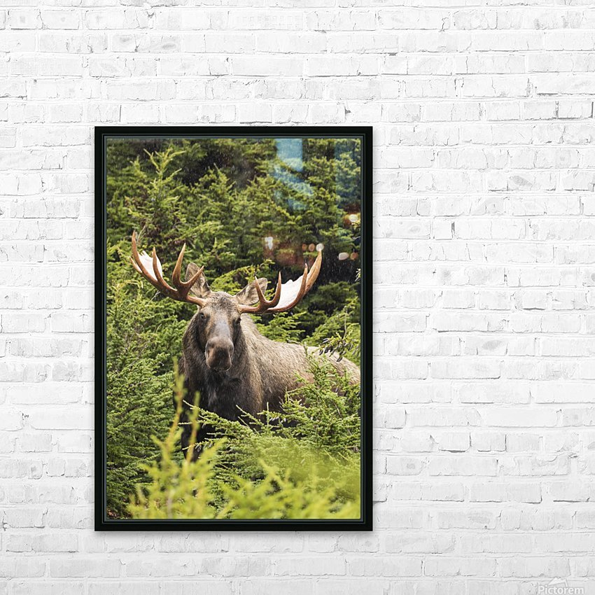 Bull moose (alces alces) in rutting period, Powerline Pass, South-central Alaska; Alaska, United States of America HD Sublimation Metal print with Decorating Float Frame (BOX)