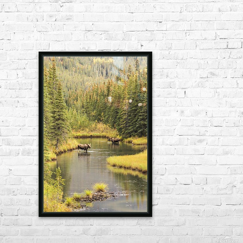 Bull and cow moose (alces alces) feeding in a shallow pond south of Cantwell, photo taken from Parks Highway common moose habitat; Alaska, United States of America HD Sublimation Metal print with Decorating Float Frame (BOX)