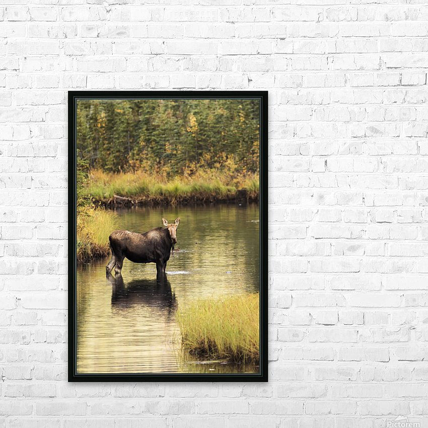 Moose (alces alces) feeding in a shallow pond south of Cantwell, photo taken from Parks Highway common moose habitat; Alaska, United States of America HD Sublimation Metal print with Decorating Float Frame (BOX)