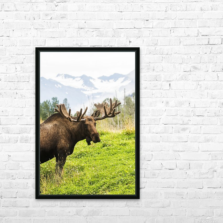 Bull moose (alces alces) with antlers in velvet, captive in Alaska Wildlife Conservation Center, South-central Alaska; Portage, Alaska, United States of America HD Sublimation Metal print with Decorating Float Frame (BOX)