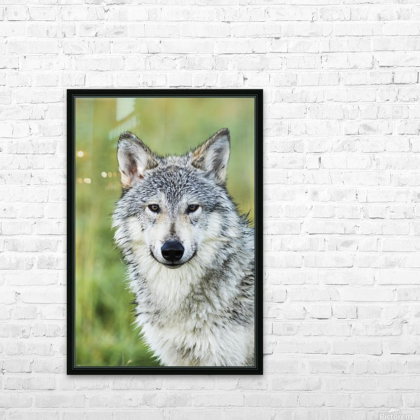 Immature female wolf (canis lupus), captive at the Alaska Wildlife Conservation Center, South-central Alaska; Portage, Alaska, United States of America HD Sublimation Metal print with Decorating Float Frame (BOX)