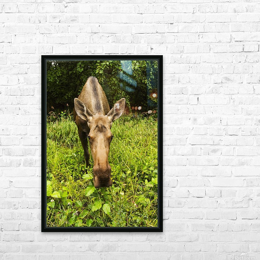 Cow moose (alces alces), close up with a wide angle lense, south-central Alaska; Alaska, United States of America HD Sublimation Metal print with Decorating Float Frame (BOX)