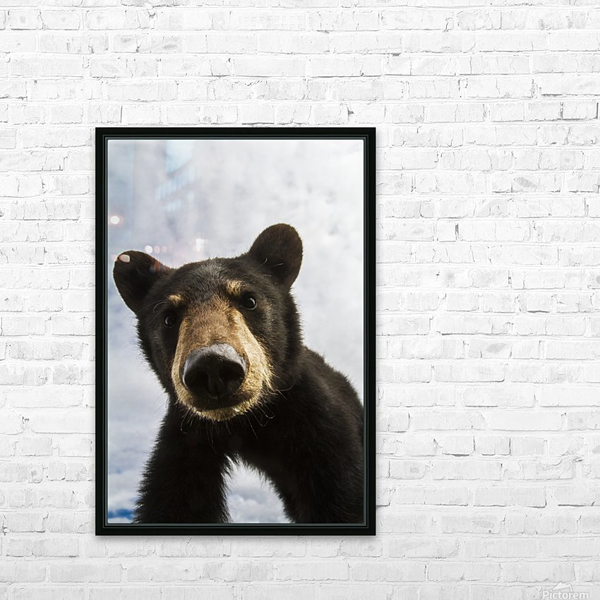 Black bear cub (ursus americanus), captive in Alaska Wildlife Conservation Center, South-central Alaska; Portage, Alaska, United States of America HD Sublimation Metal print with Decorating Float Frame (BOX)