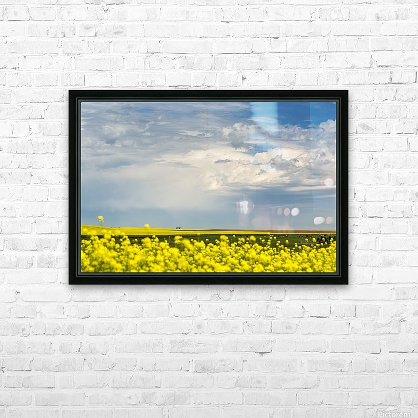 Flowering canola field with dark storm clouds and cattle grazing; Nanton, Alberta, Canada HD Sublimation Metal print with Decorating Float Frame (BOX)