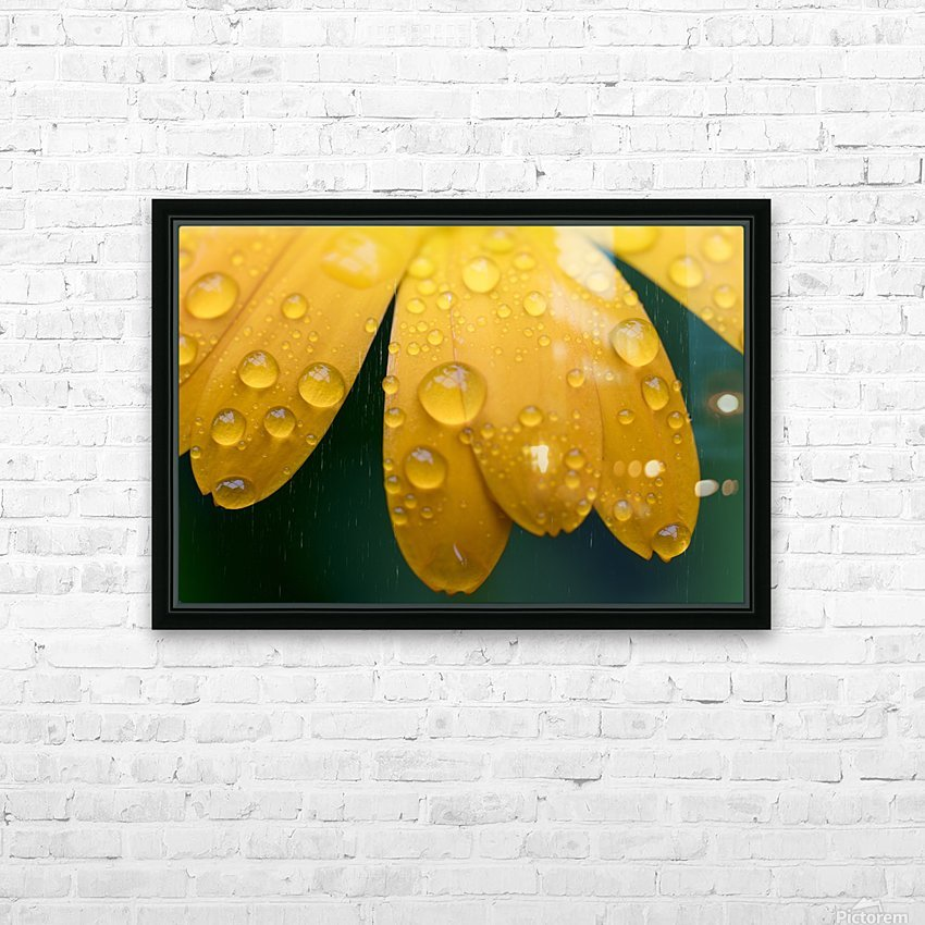 Close up of water droplets on yellow flower petals; South Shields, Tyne and Wear, England HD Sublimation Metal print with Decorating Float Frame (BOX)