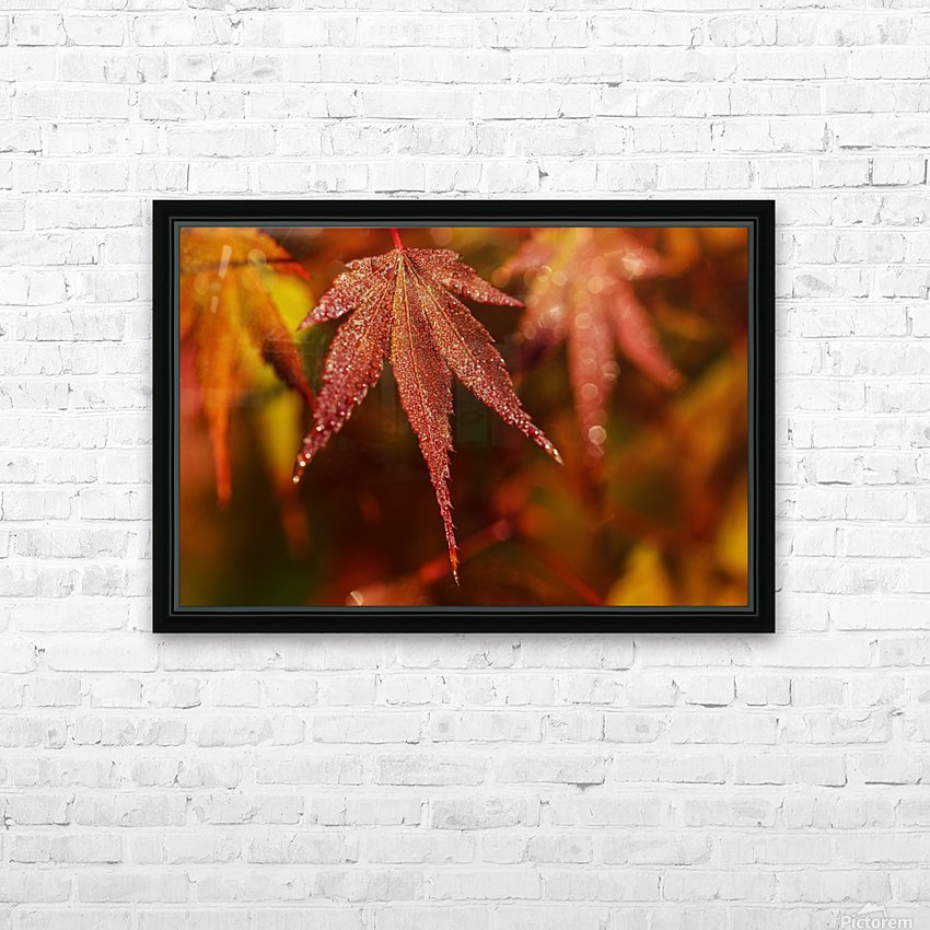 Japanese Maple (Acer palmatum) turning red in the autumn; Astoria, Oregon, United States of America HD Sublimation Metal print with Decorating Float Frame (BOX)