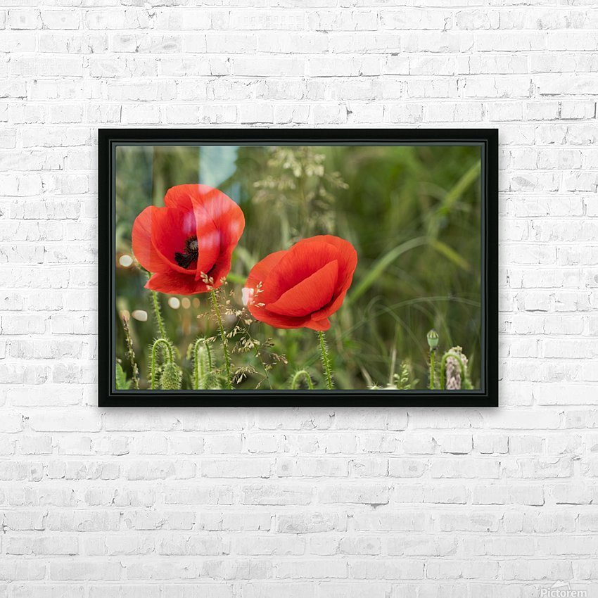 Close up of red poppies blossoming; South Shields, Tyne and Wear, England HD Sublimation Metal print with Decorating Float Frame (BOX)