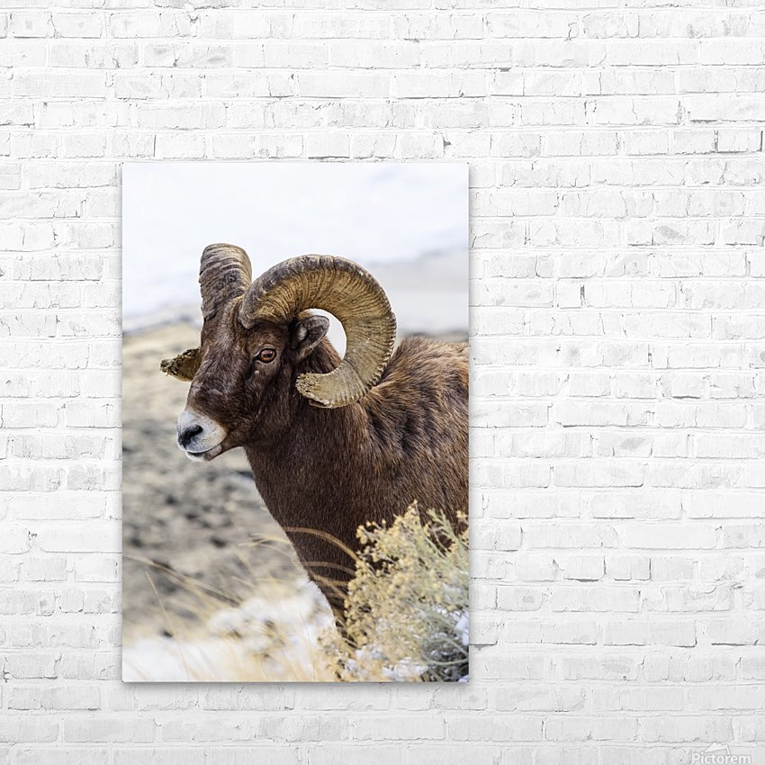Close up of Bighorn ram (ovis canadensis) with broomed (splintered) horn tips resulting from butting heads with other rams, Shoshone National Forest; Wyoming, United States of America HD Sublimation Metal print with Decorating Float Frame (BOX)