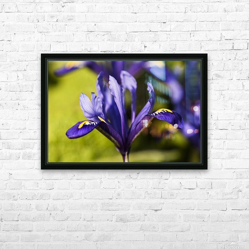 Dwarf Iris blooms in February; Oregon, United States of America HD Sublimation Metal print with Decorating Float Frame (BOX)