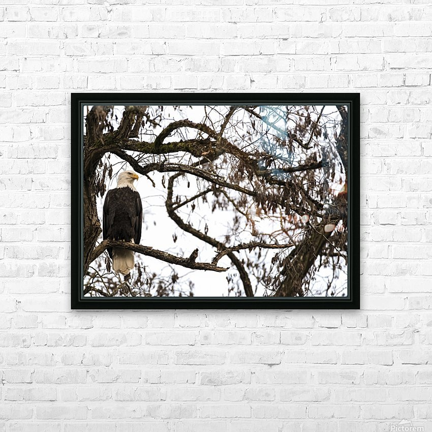 Bald Eagle (Haliaeetus leucocephalus) perched in a tree, Cowichan Bay; British Columbia, Canada HD Sublimation Metal print with Decorating Float Frame (BOX)