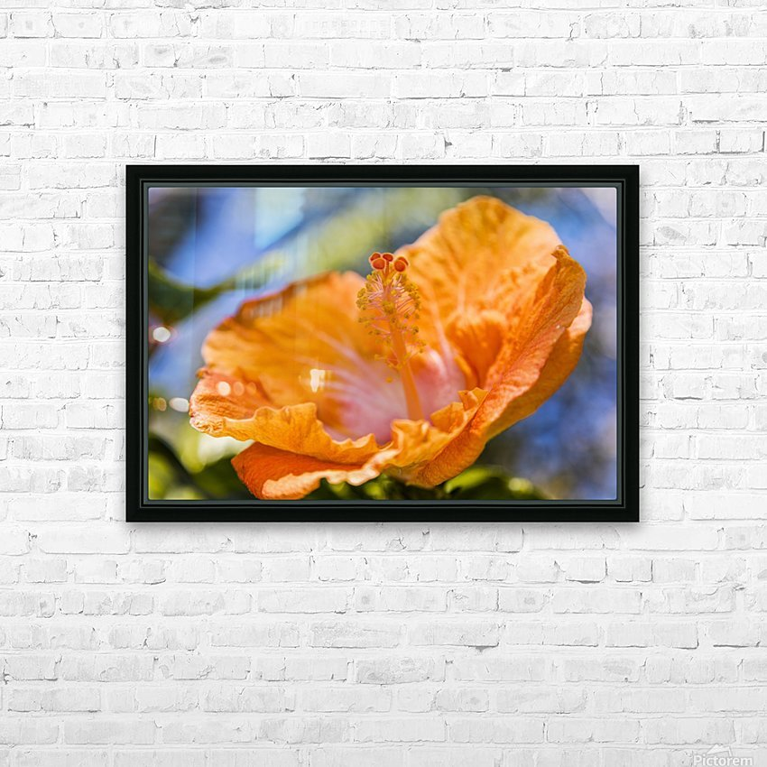 Close-up of orange hibiscus flower; Maui, Hawaii, United States of America HD Sublimation Metal print with Decorating Float Frame (BOX)
