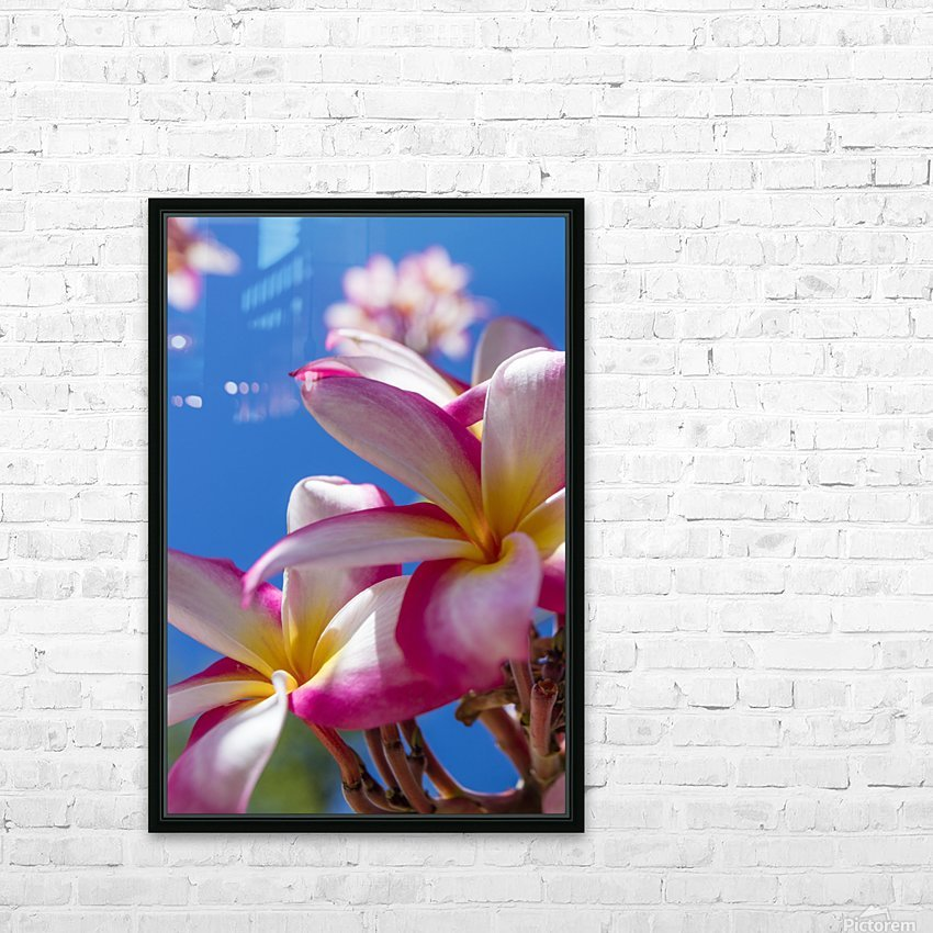 Close-up of pink plumeria flowers and blue sky; Lanai, Hawaii, United States of America HD Sublimation Metal print with Decorating Float Frame (BOX)
