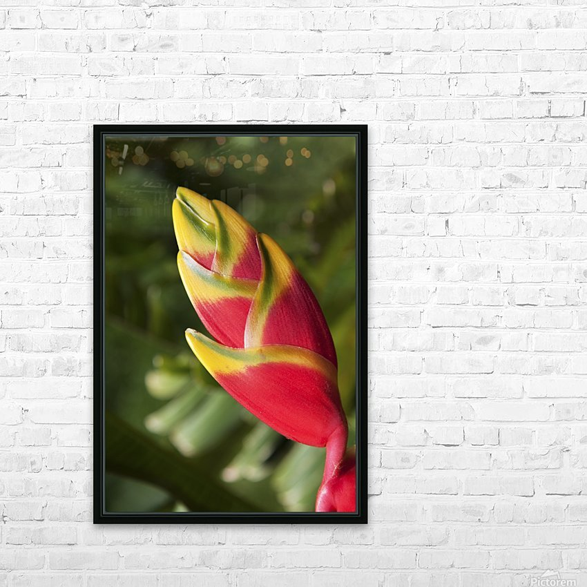 Close-up of lobster-claw heliconia flower; Maui, Hawaii, United States of America HD Sublimation Metal print with Decorating Float Frame (BOX)