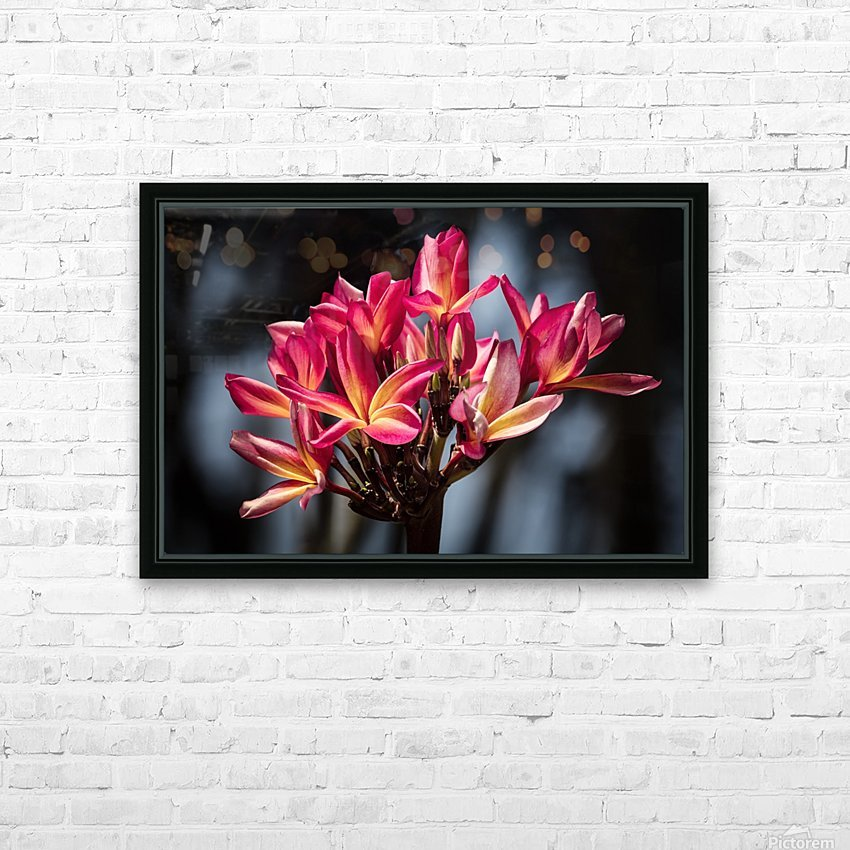 Close-up of bright pink plumeria flowers; Maui, Hawaii, United States of America HD Sublimation Metal print with Decorating Float Frame (BOX)