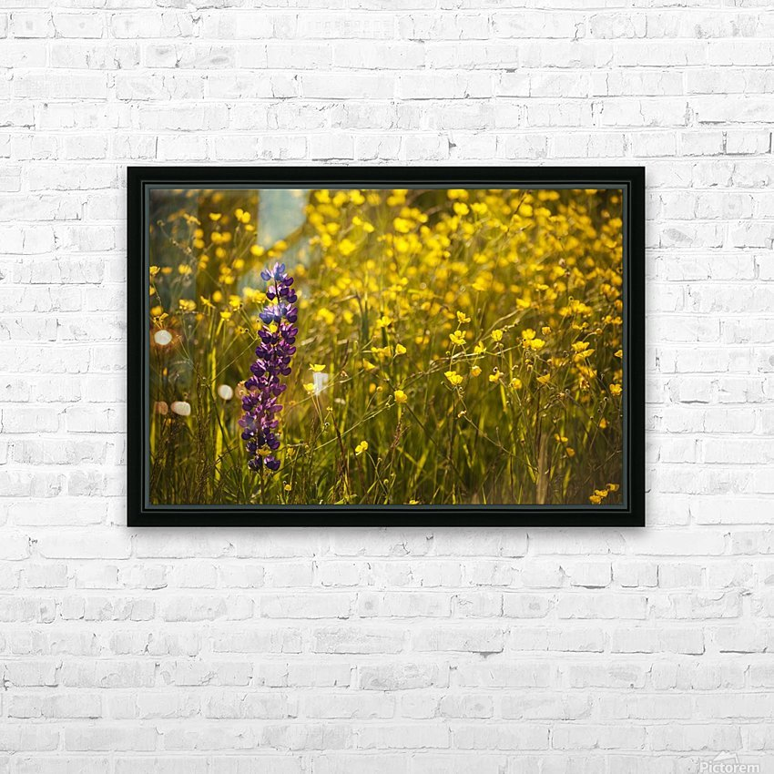 Garden lupin (Lupinus polyphyllus) and buttercups (Ranunculus) in a field at sunset; Fall River, Nova Scotia, Canada HD Sublimation Metal print with Decorating Float Frame (BOX)