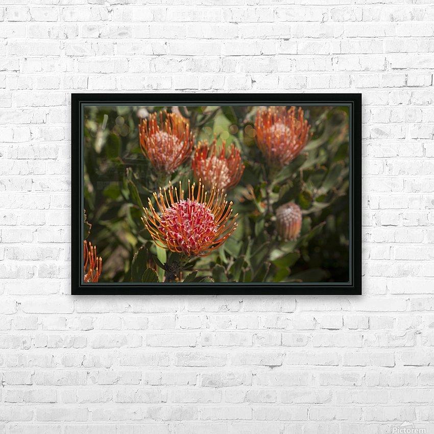 Pincushion (Scabiosa) protea flower; Kula, Maui, Hawaii, United States of America HD Sublimation Metal print with Decorating Float Frame (BOX)