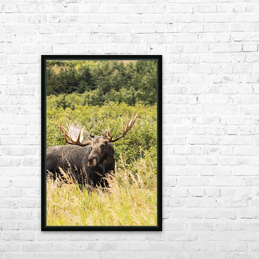 Bull moose (alces alces) in the rutting period, Powerline Pass, South-central Alaska; Anchorage, Alaska, United States of America HD Sublimation Metal print with Decorating Float Frame (BOX)