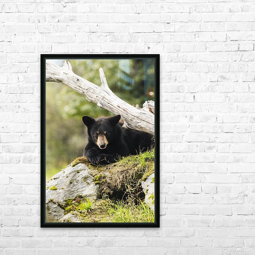 Black bear cub (ursus americanus), captive at the Alaska Wildlife Conservation Center, South-central Alaska; Portage, Alaska, United States of America HD Sublimation Metal print with Decorating Float Frame (BOX)