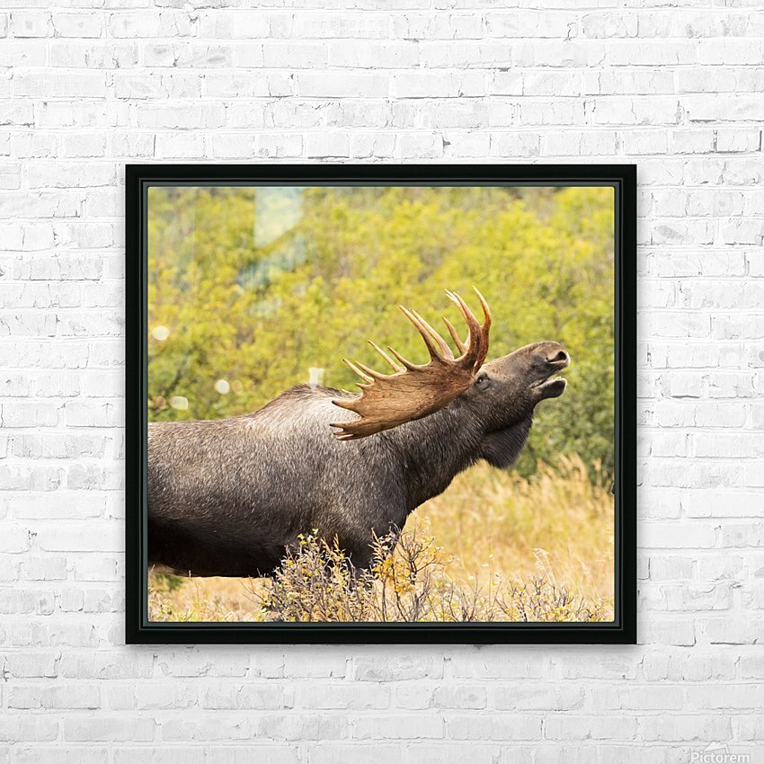 Bull moose (alces alces) doing flehman response to check on cow moose during the rut, South-central Alaska; United States of America HD Sublimation Metal print with Decorating Float Frame (BOX)