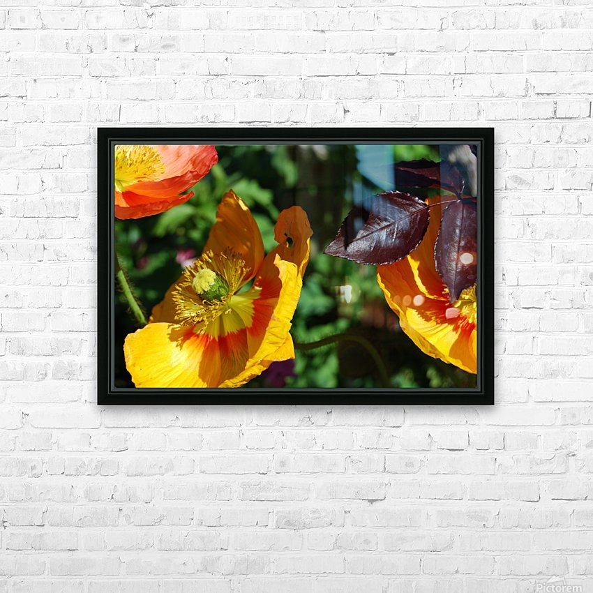 Yellow Poppies Growing in a Garden HD Sublimation Metal print with Decorating Float Frame (BOX)