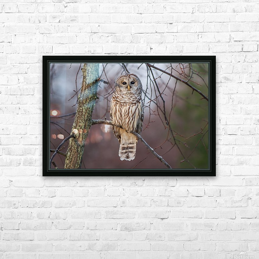 Barred Owl at sunrise. HD Sublimation Metal print with Decorating Float Frame (BOX)