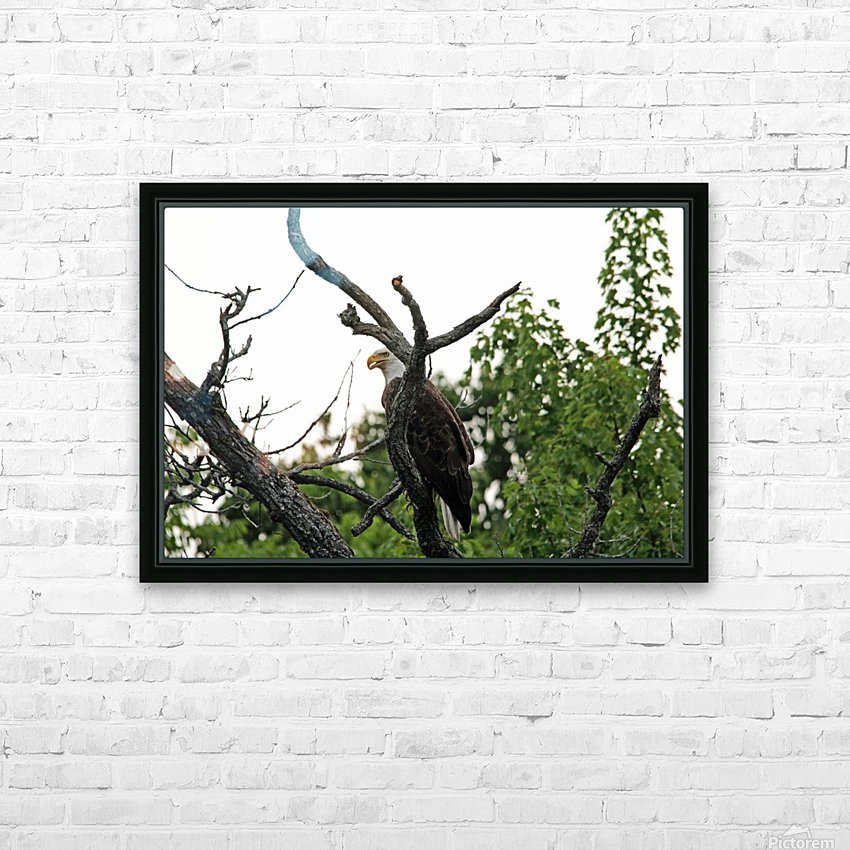Fierce Bald Eagle HD Sublimation Metal print with Decorating Float Frame (BOX)