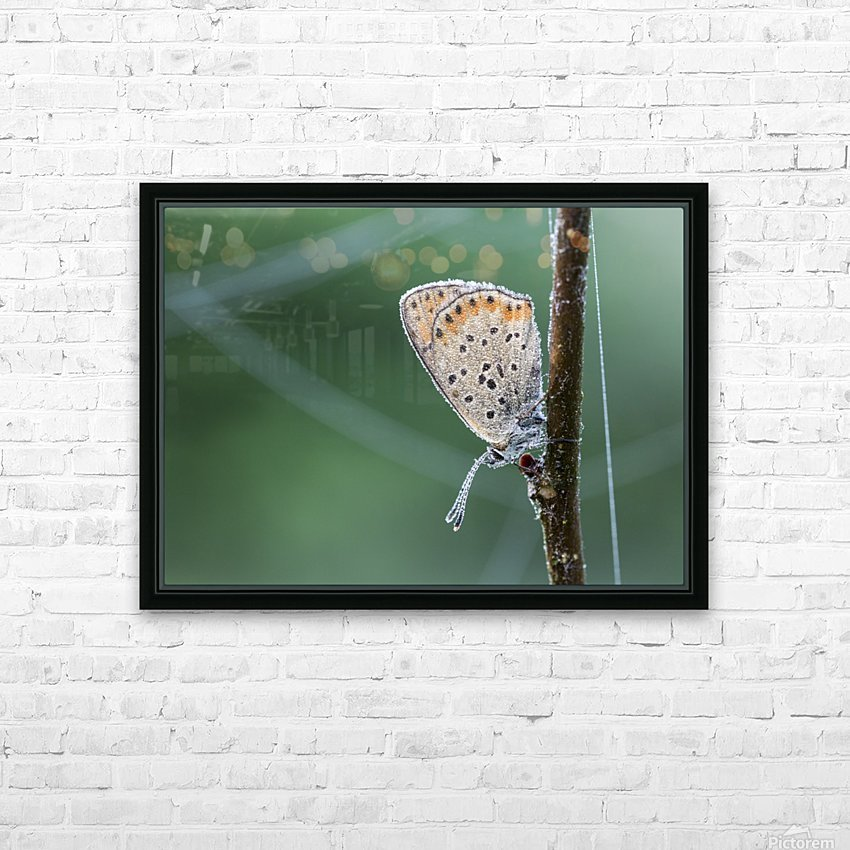 Lycaena tytirus butterfly HD Sublimation Metal print with Decorating Float Frame (BOX)