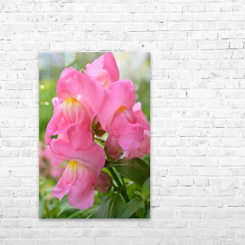 Pink Snapdragon Photograph  HD Sublimation Metal print with Decorating Float Frame (BOX)