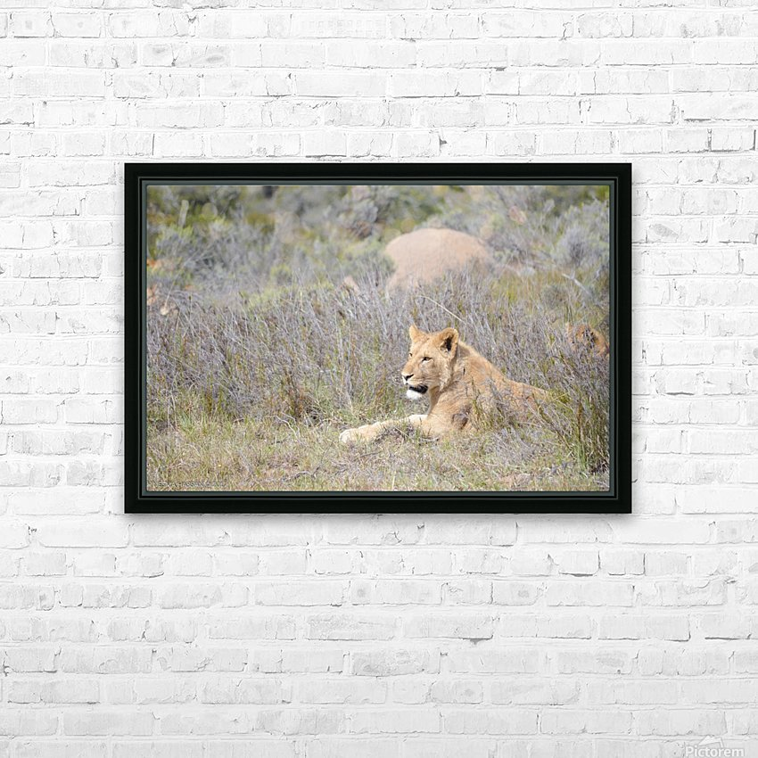 Lioness HD Sublimation Metal print with Decorating Float Frame (BOX)