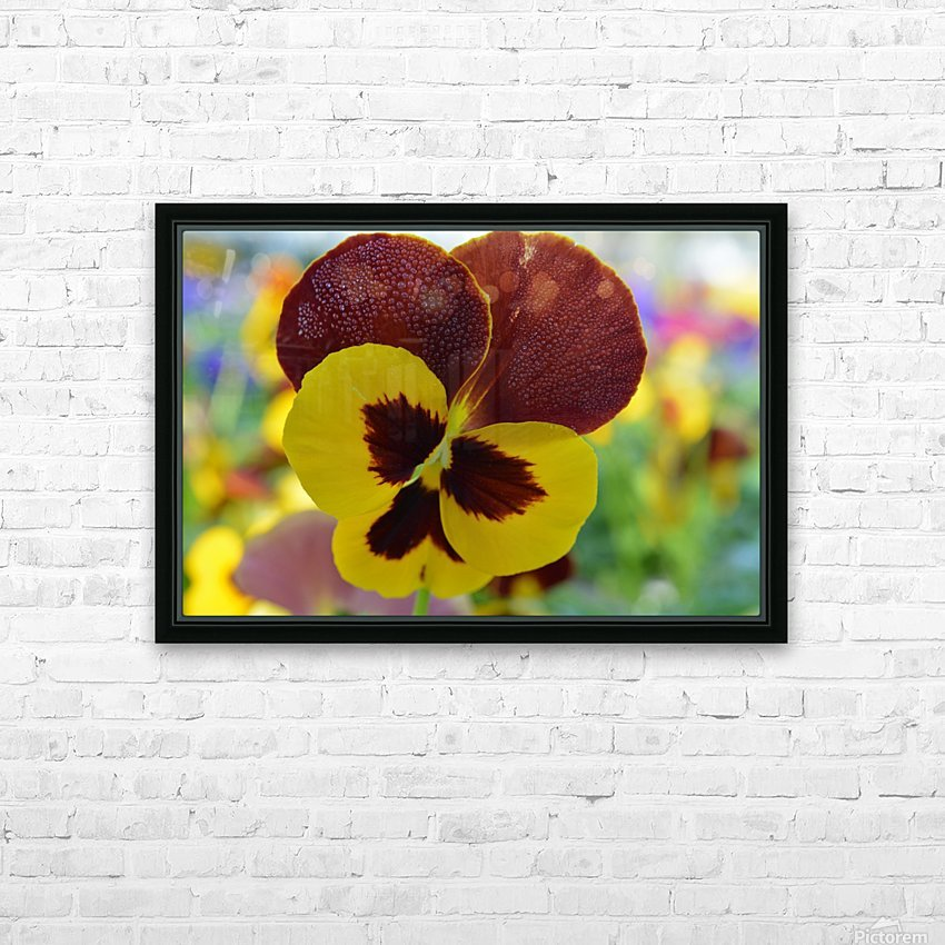 Yellow Pansy Covered In Due Drops HD Sublimation Metal print with Decorating Float Frame (BOX)