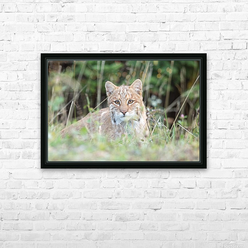 Curious Bobcat HD Sublimation Metal print with Decorating Float Frame (BOX)