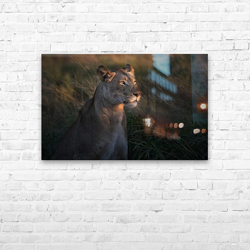 Lioness at firt day ligth HD Sublimation Metal print with Decorating Float Frame (BOX)