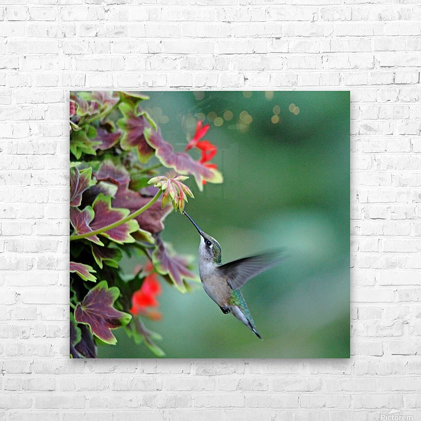 Hummingbird Loving The Orange Geranium HD Sublimation Metal print with Decorating Float Frame (BOX)