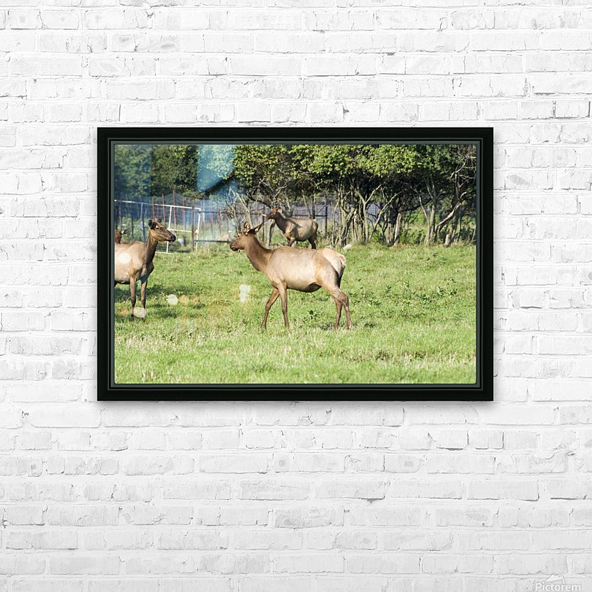 Elk Red Tailed Deer or Wapiti 4 HD Sublimation Metal print with Decorating Float Frame (BOX)