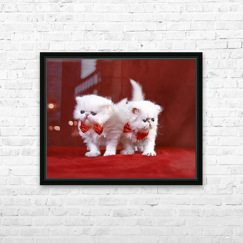 White Persian Kittens with bow ties HD Sublimation Metal print with Decorating Float Frame (BOX)