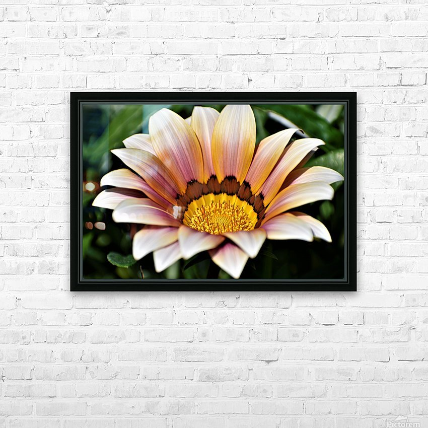 Gazania Flower Photograph in Orange and Pink HD Sublimation Metal print with Decorating Float Frame (BOX)