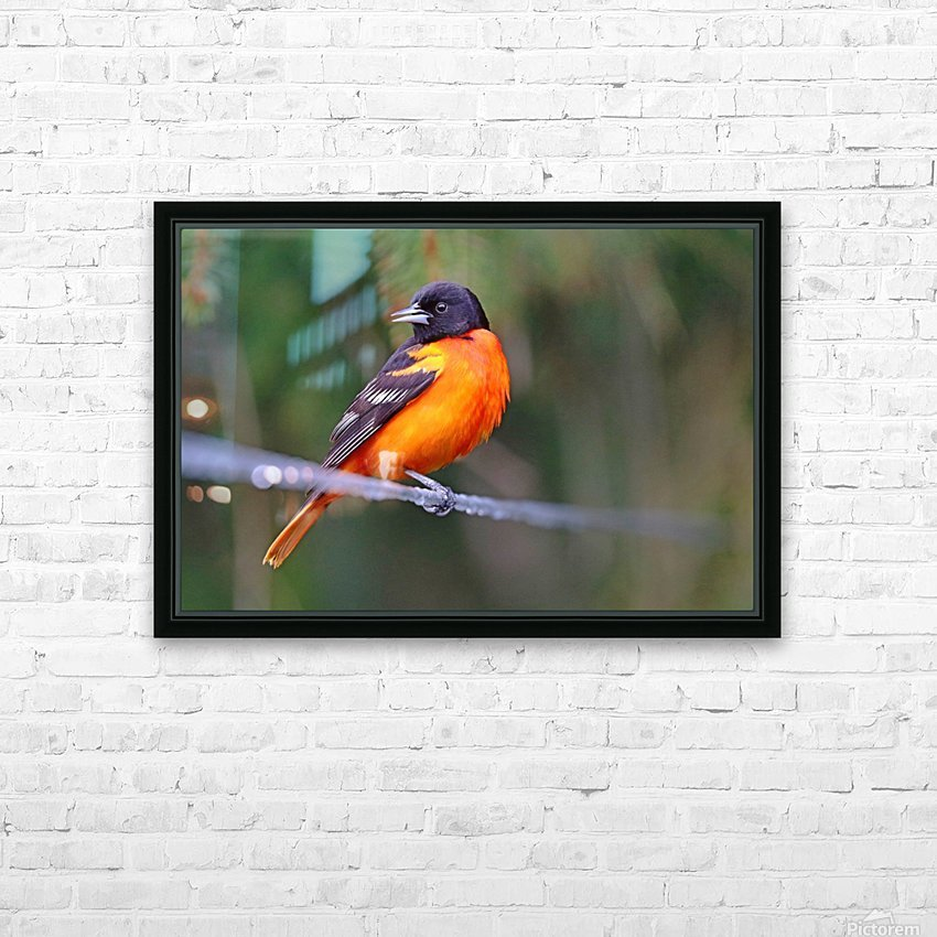Baltimore Oriole On The Line HD Sublimation Metal print with Decorating Float Frame (BOX)