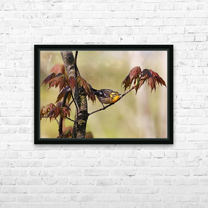 Blackburnian Warbler In Maple Tree HD Sublimation Metal print with Decorating Float Frame (BOX)