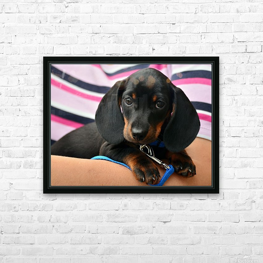 dachshund puppy young animal HD Sublimation Metal print with Decorating Float Frame (BOX)