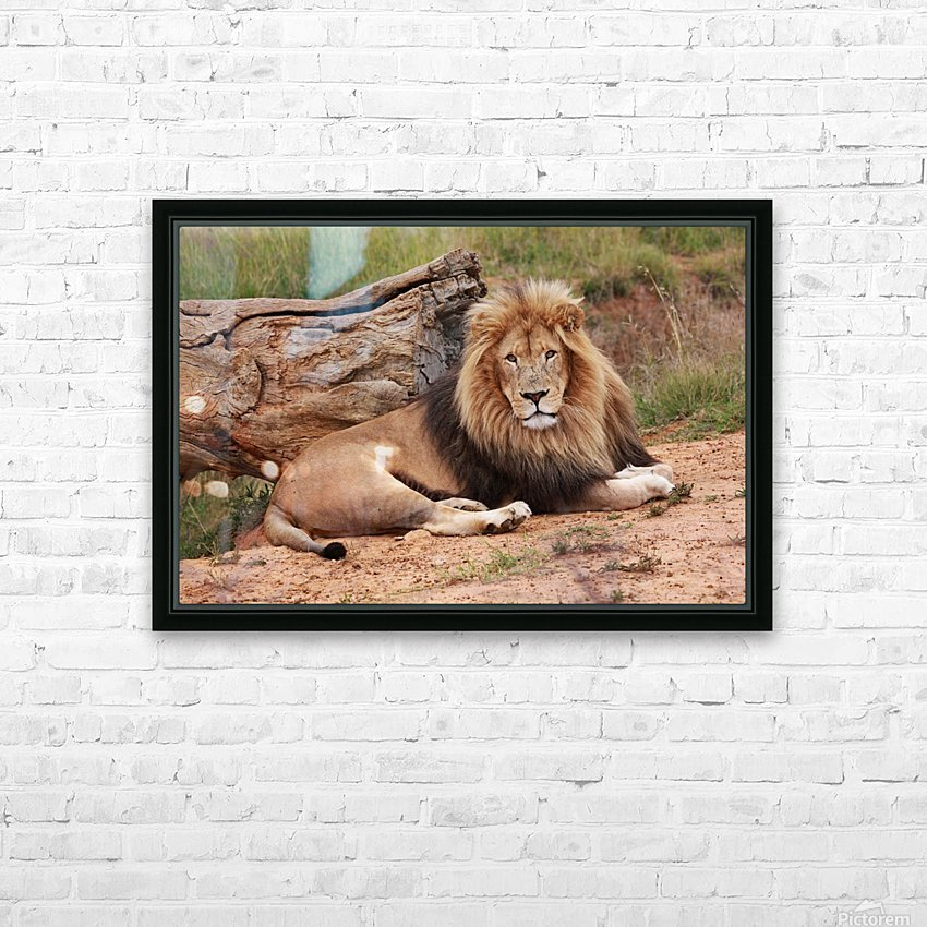 Brown Lion Male 9027 HD Sublimation Metal print with Decorating Float Frame (BOX)