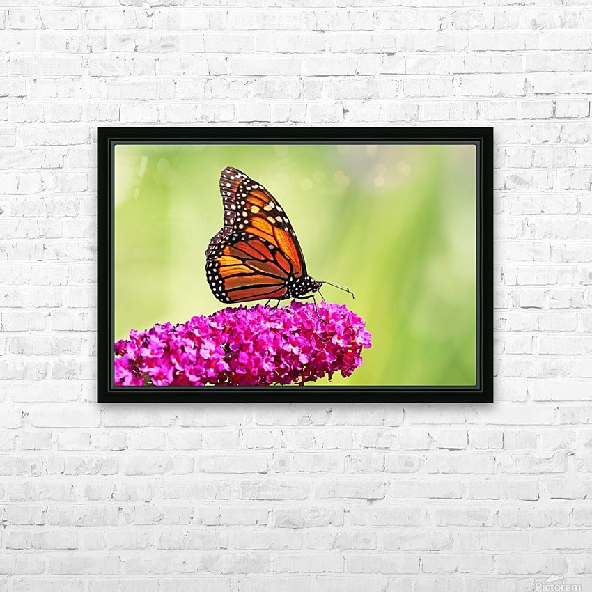 Monarch On Magenta Buddleia HD Sublimation Metal print with Decorating Float Frame (BOX)
