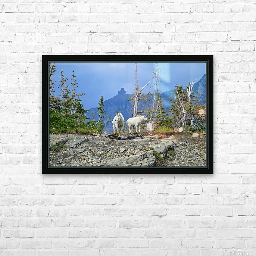 Mountain Goats at Logan Pass HD Sublimation Metal print with Decorating Float Frame (BOX)
