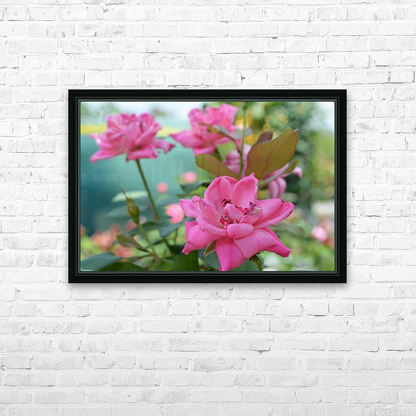 Pink Rose Garden Photograph HD Sublimation Metal print with Decorating Float Frame (BOX)